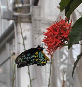 ButterfliesLive_Lewis Ginter_butterfly